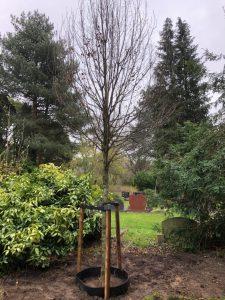 De gedenkboom voor Nico, Carpinus betulus 'Rockhampton Red